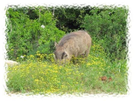 2012.11.24 - Addo Elephant National Park - Warthog